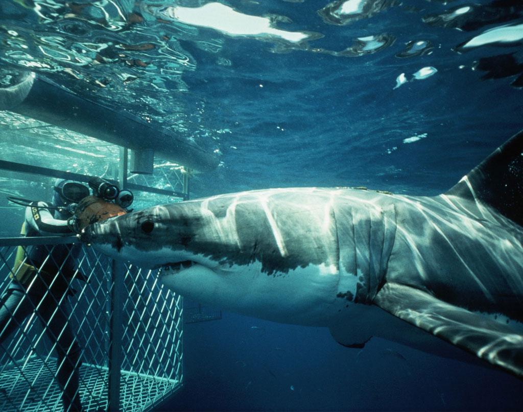 погружение с акулами в клетке фото символ богатства